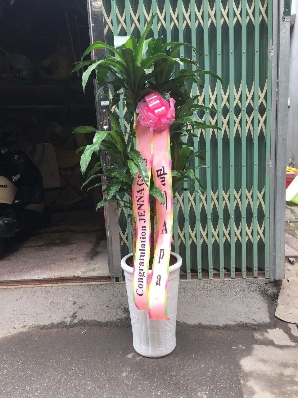 cây cảnh thiết mộc lan tại điện hoa Lily