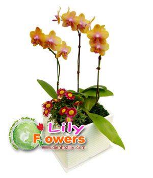 Lan hồ điệp tươu sáng tại Điện hoa Lily