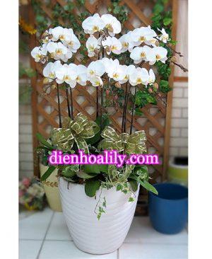 Lan hồ điệp sang trọng tại Điện hoa Lily