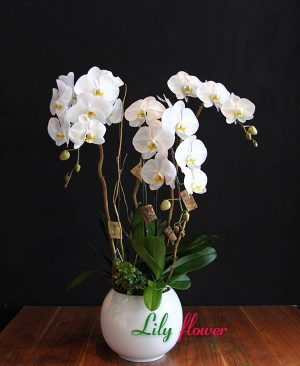 Lan hồ điệp đạp tại Điện hoa Lily