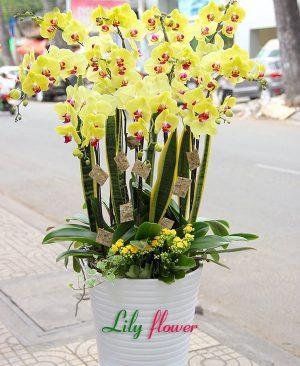 Hoa lan hồ điệp nắng vàng rực rỡ