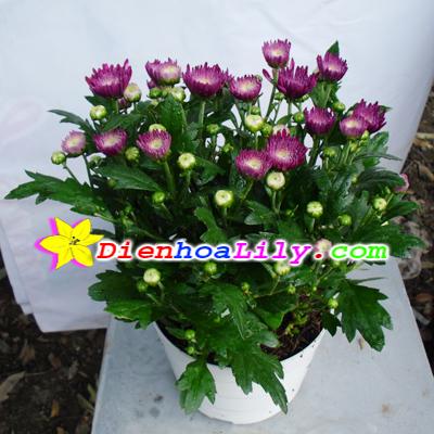 Hoa cúc tím cũng mang ý nghĩa biểu thị cho sự thanh lịch
